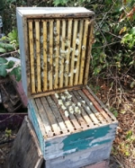 harvesting comb honey