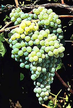 himrod white seedless grape